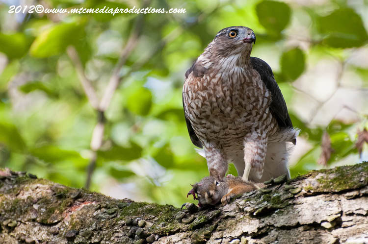 Coopers Hawk Picture-160