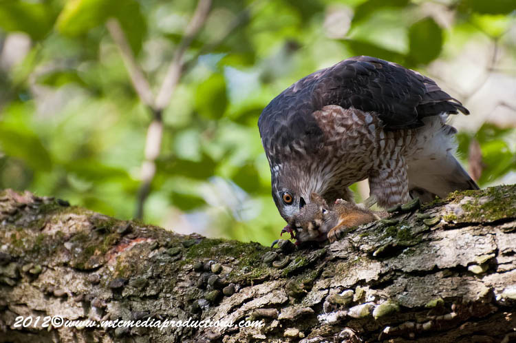 Coopers Hawk Picture-161