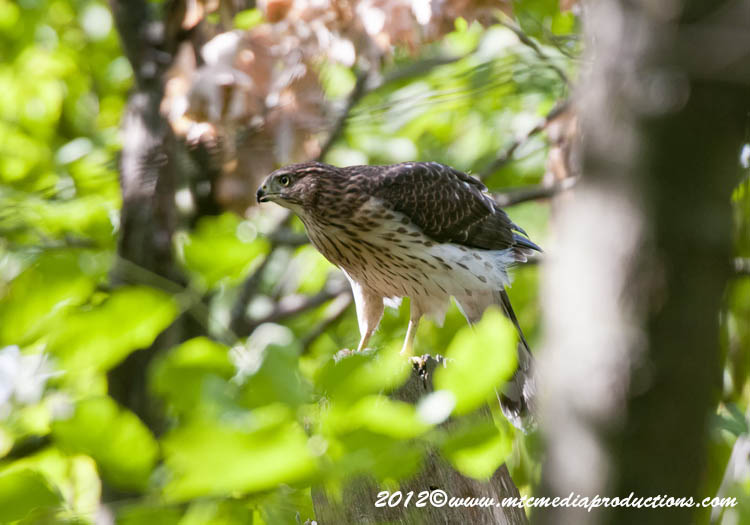 Coopers Hawk Picture-162