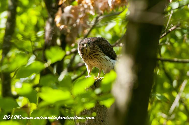 Coopers Hawk Picture-163
