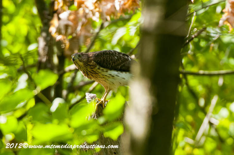 Coopers Hawk Picture-164