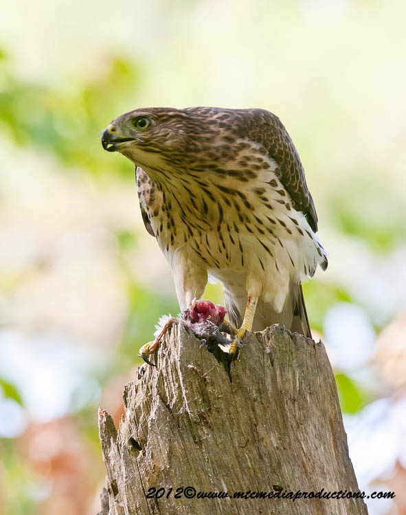 Coopers Hawk Picture-165