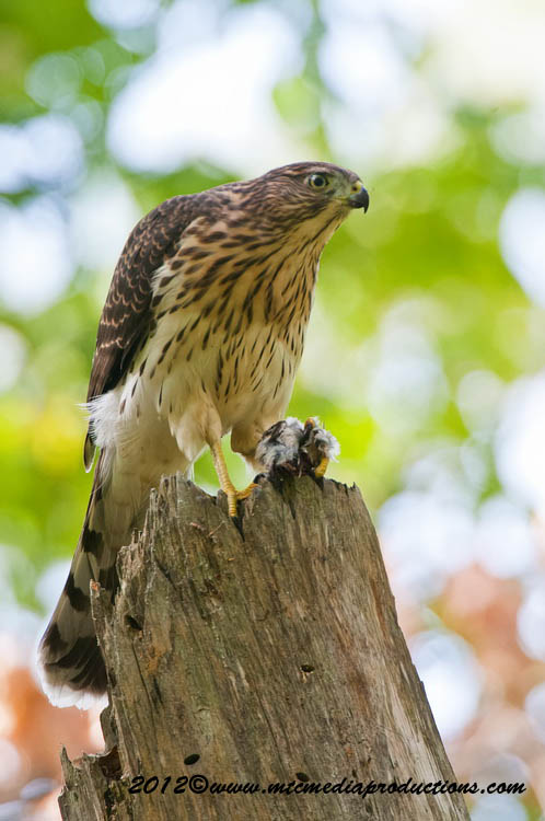 Coopers Hawk Picture-169
