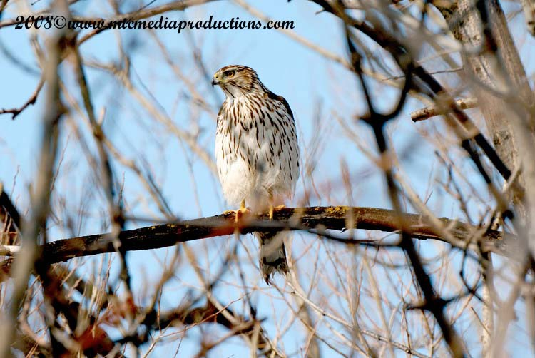 Coopers Hawk Picture-17