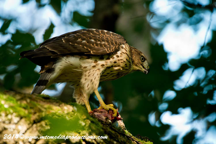 Coopers Hawk Picture-170