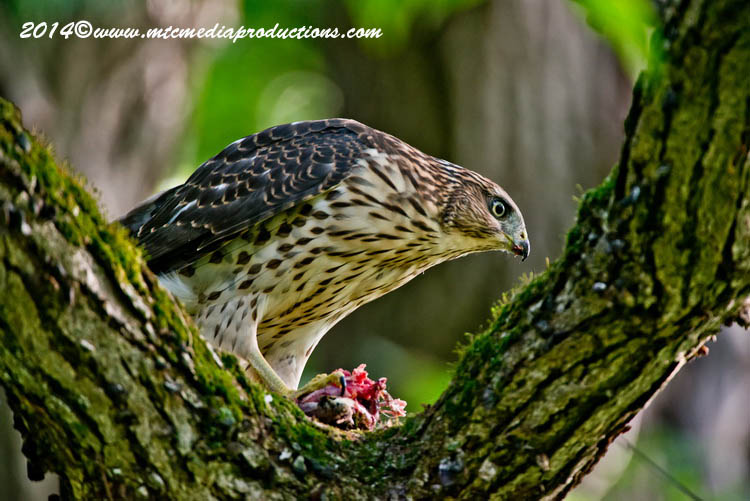 Coopers Hawk Picture-171