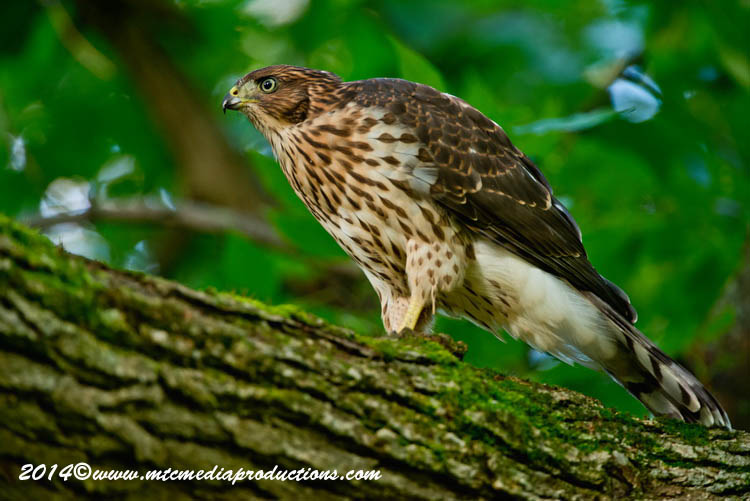 Coopers Hawk Picture-172