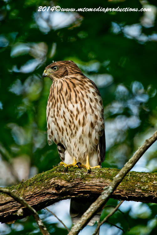 Coopers Hawk Picture-173