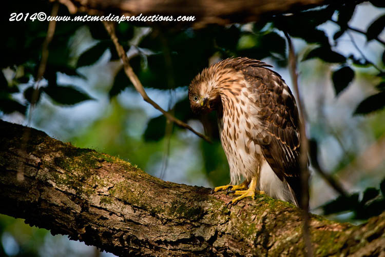 Coopers Hawk Picture-174