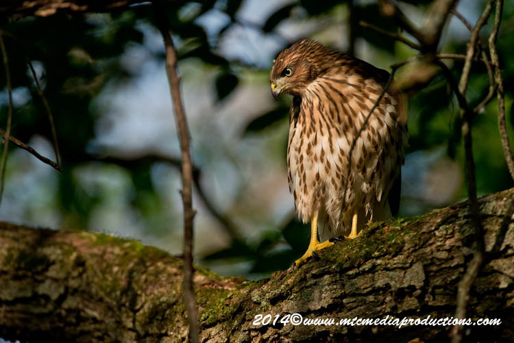 Coopers Hawk Picture-175