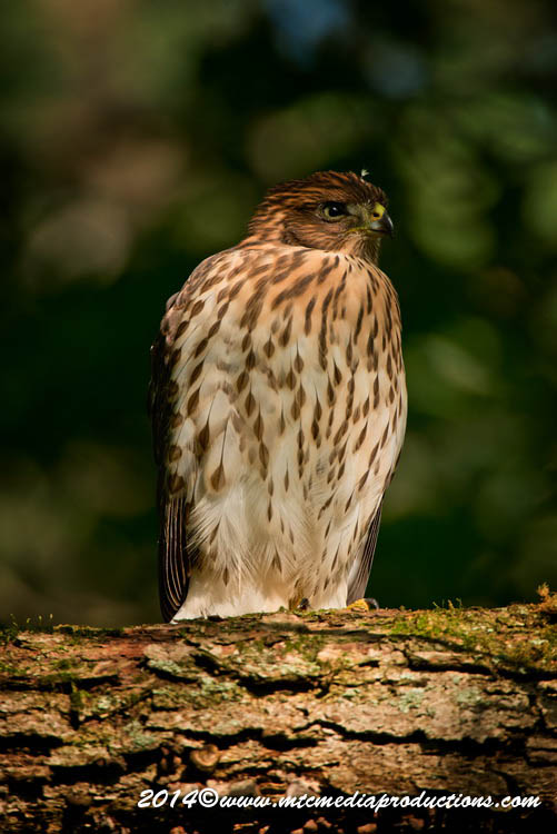 Coopers Hawk Picture-176