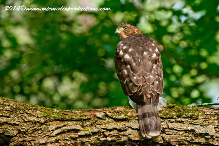 Coopers Hawk Picture-177
