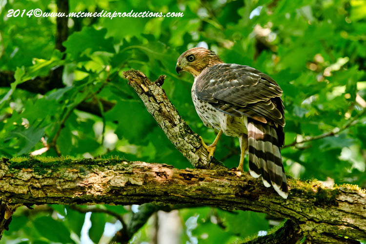Coopers Hawk Picture-178