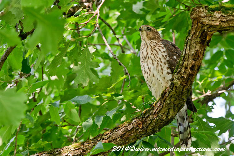 Coopers Hawk Picture-179