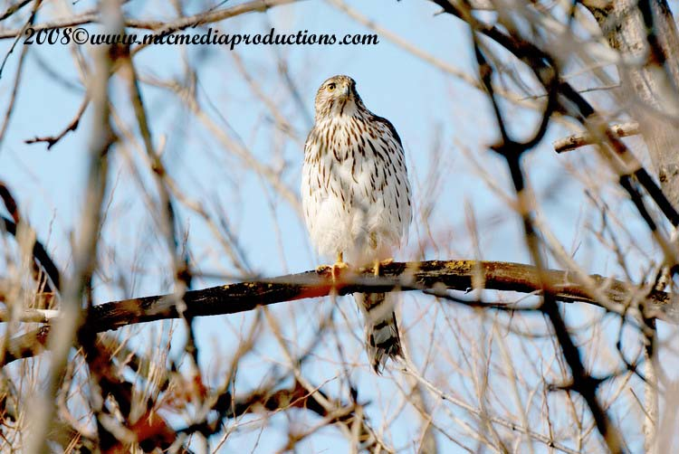 Coopers Hawk Picture-18