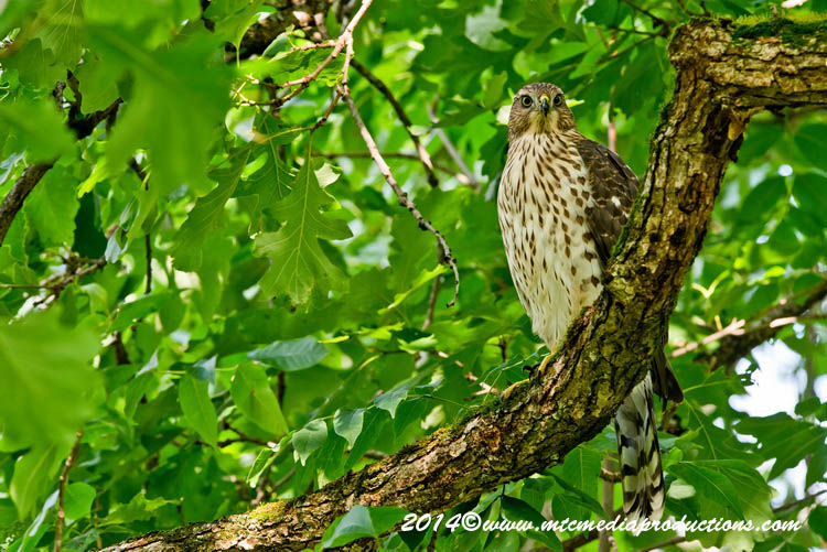 Coopers Hawk Picture-180