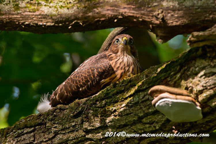 Coopers Hawk Picture-181