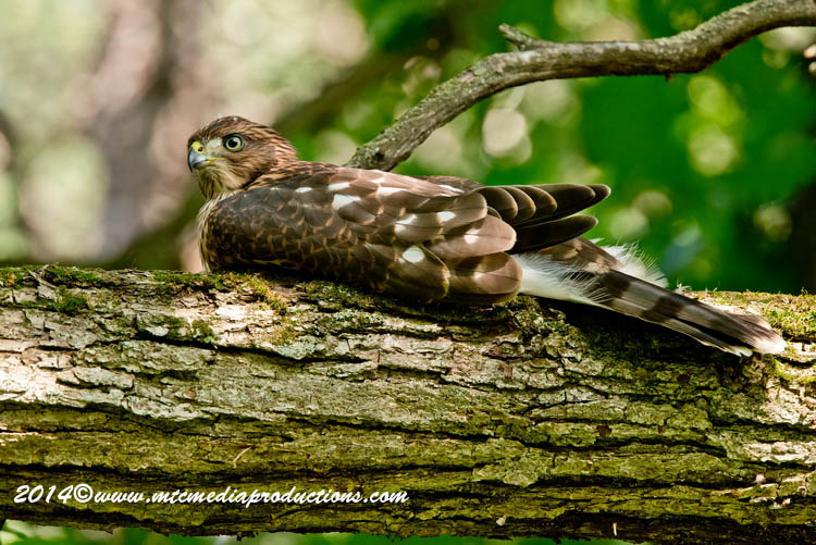 Coopers Hawk Picture-182