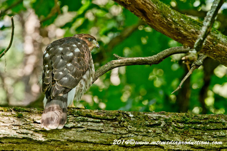 Coopers Hawk Picture-185