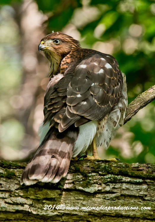 Coopers Hawk Picture-186