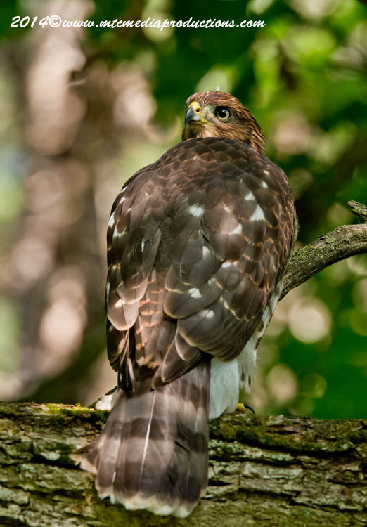 Coopers Hawk Picture-188