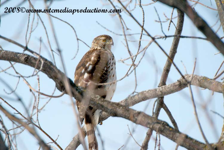 Coopers Hawk Picture-19
