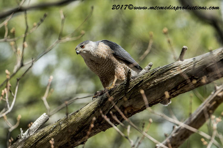 Coopers Hawk Picture