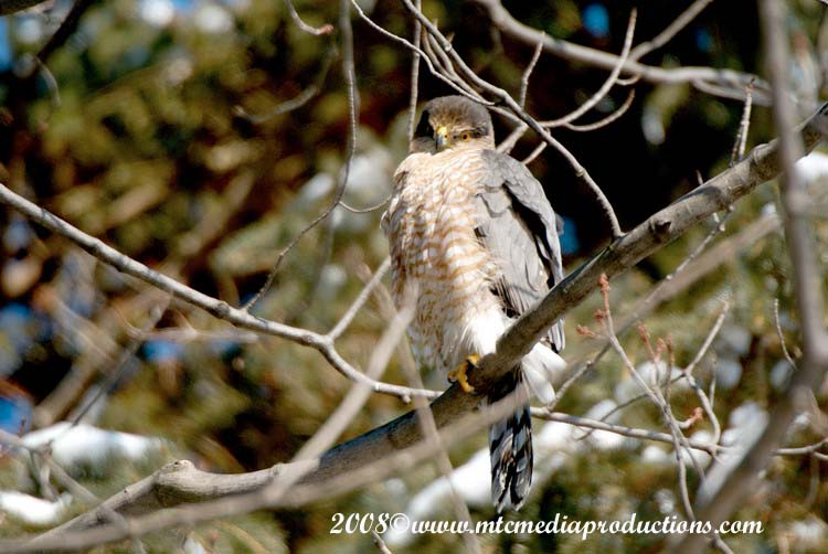 Coopers Hawk Picture-02