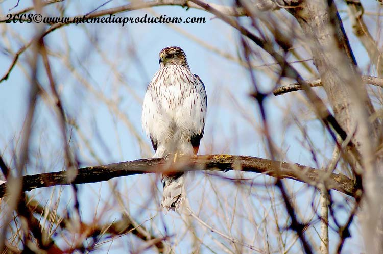 Coopers Hawk Picture-21