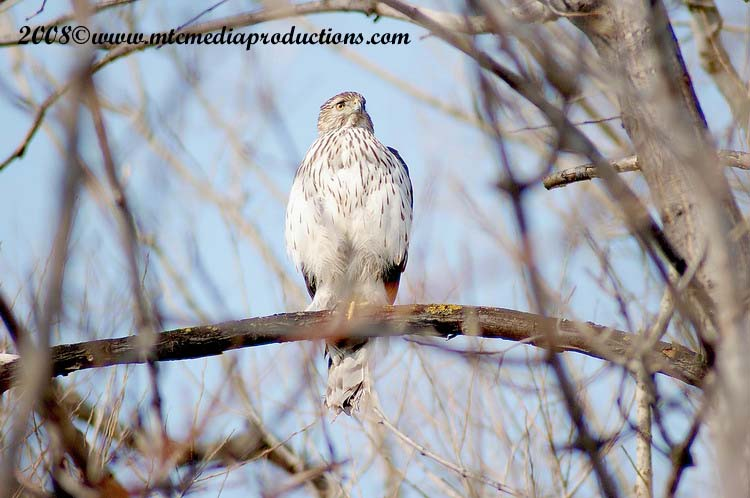 Coopers Hawk Picture-22