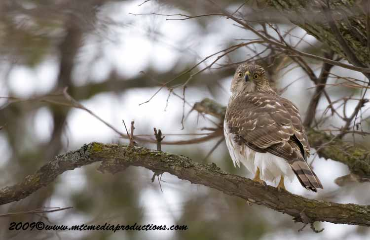 Coopers Hawk Picture-23