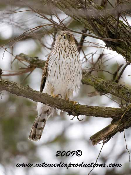 Coopers Hawk Picture-25