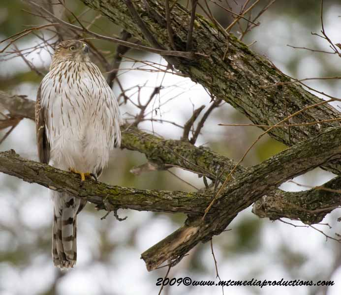 Coopers Hawk Picture-27
