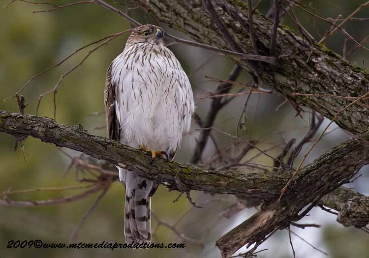 Coopers Hawk Picture-29