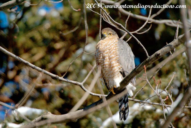 Coopers Hawk Picture-03