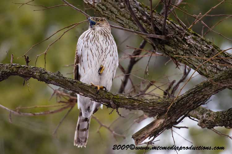 Coopers Hawk Picture-31