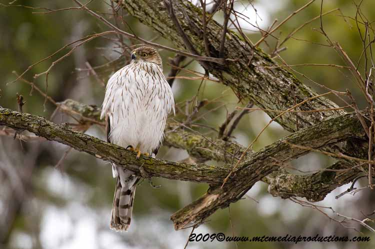 Coopers Hawk Picture-32