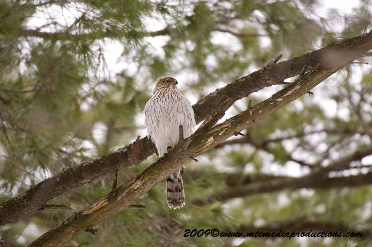 Coopers Hawk Picture-33