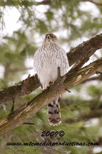 Coopers Hawk Picture-34