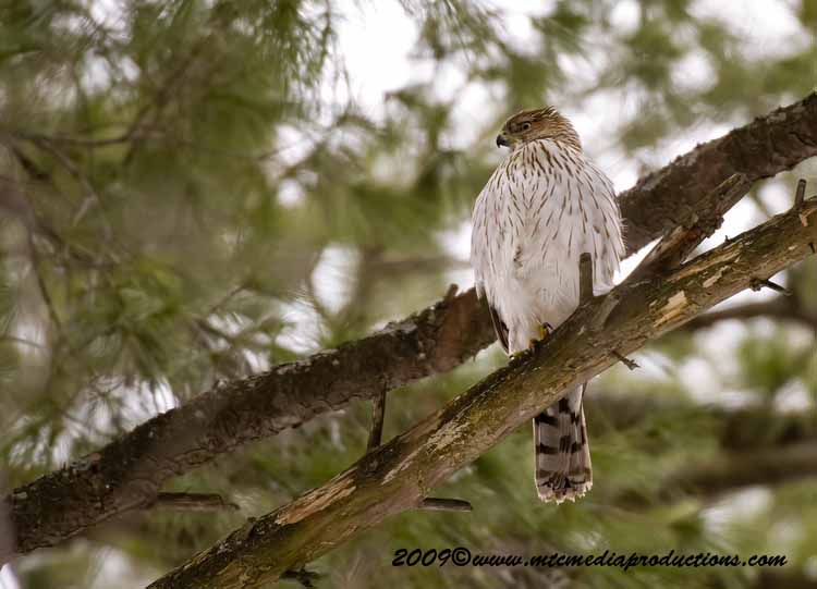 Coopers Hawk Picture-35