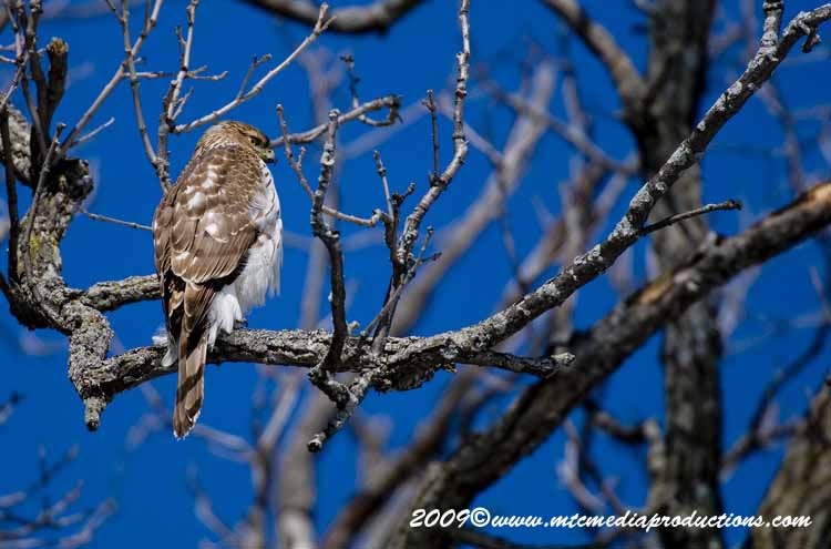 Coopers Hawk Picture-37