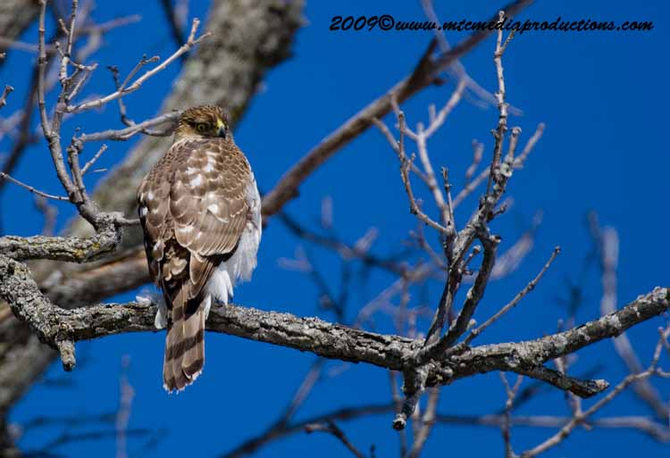Coopers Hawk Picture-38