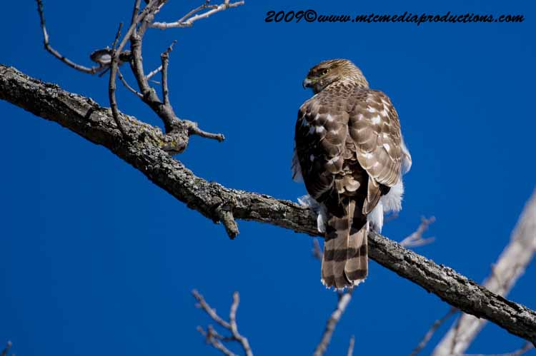 Coopers Hawk Picture-39