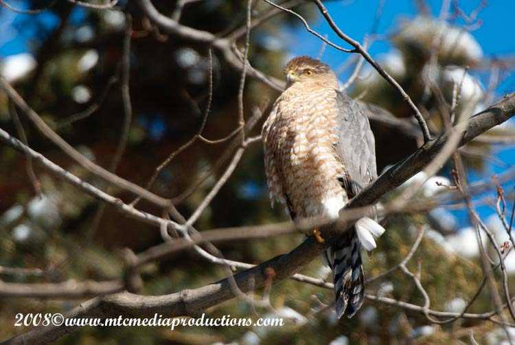Coopers Hawk Picture-04