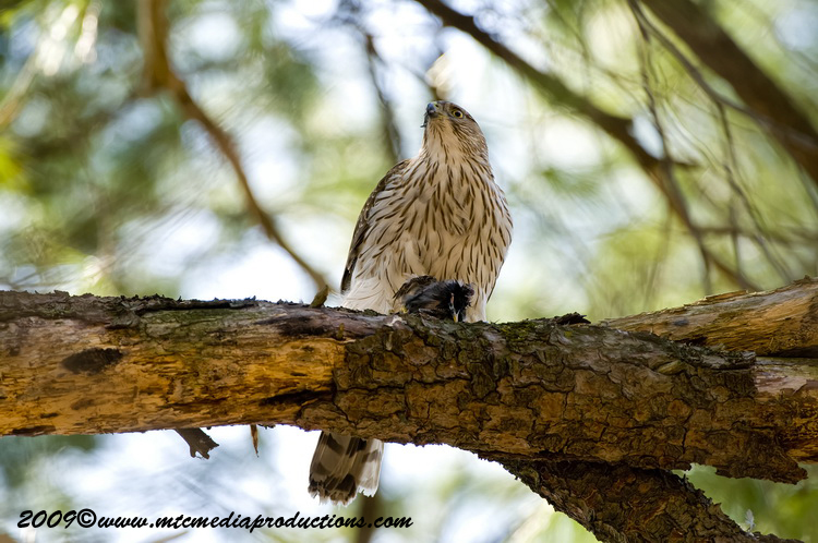 Coopers Hawk Picture-43
