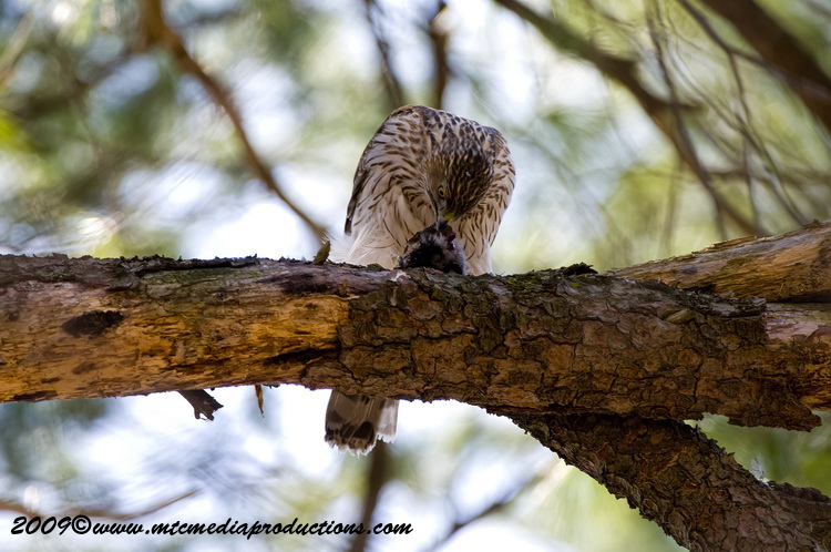 Coopers Hawk Picture-44