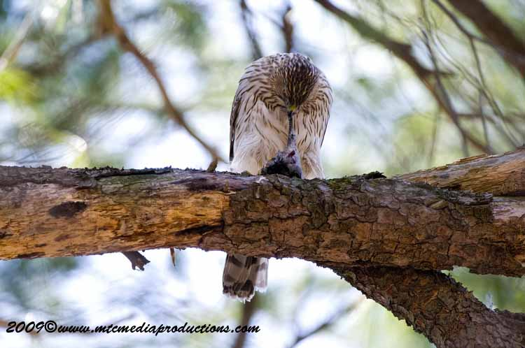 Coopers Hawk Picture-45