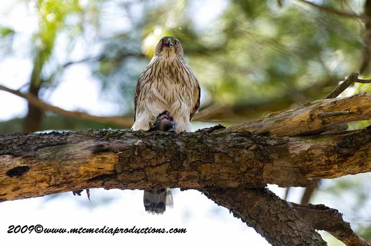 Coopers Hawk Picture-46