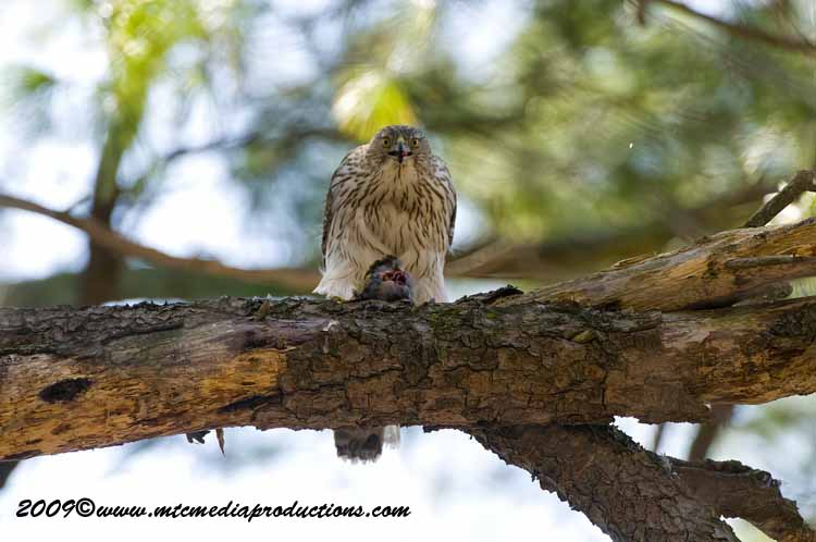 Coopers Hawk Picture-47
