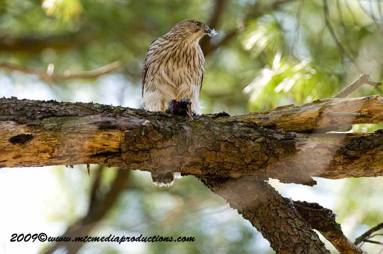 Coopers Hawk Picture-48